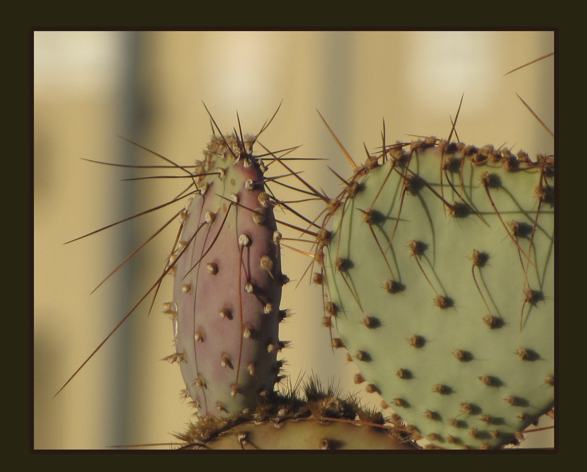cactus-in-evening-light-framed