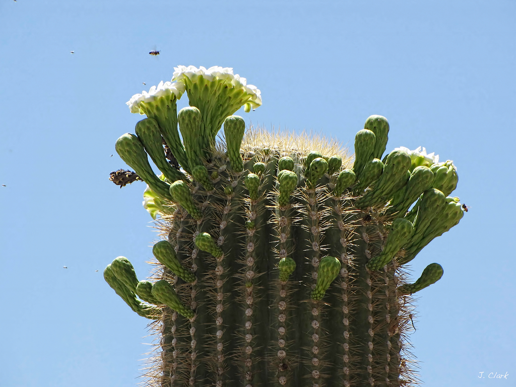 saguaro with buds 1069