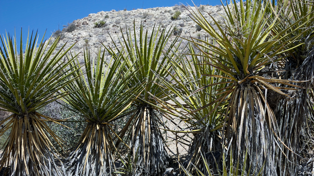 Yucca Forest 1699