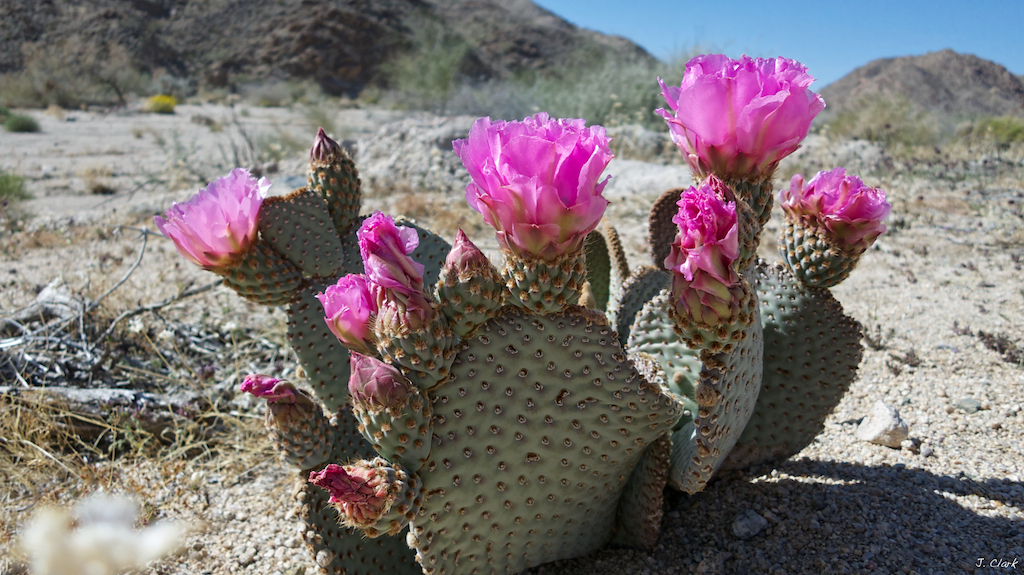 pink prickly pear 1705