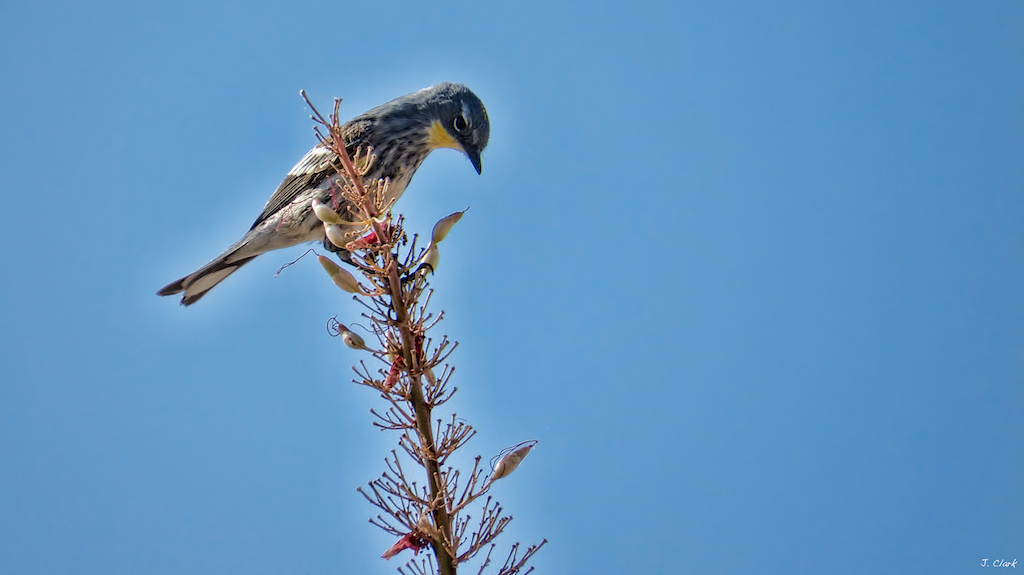 WARBLER ON OCOTILLO 1730
