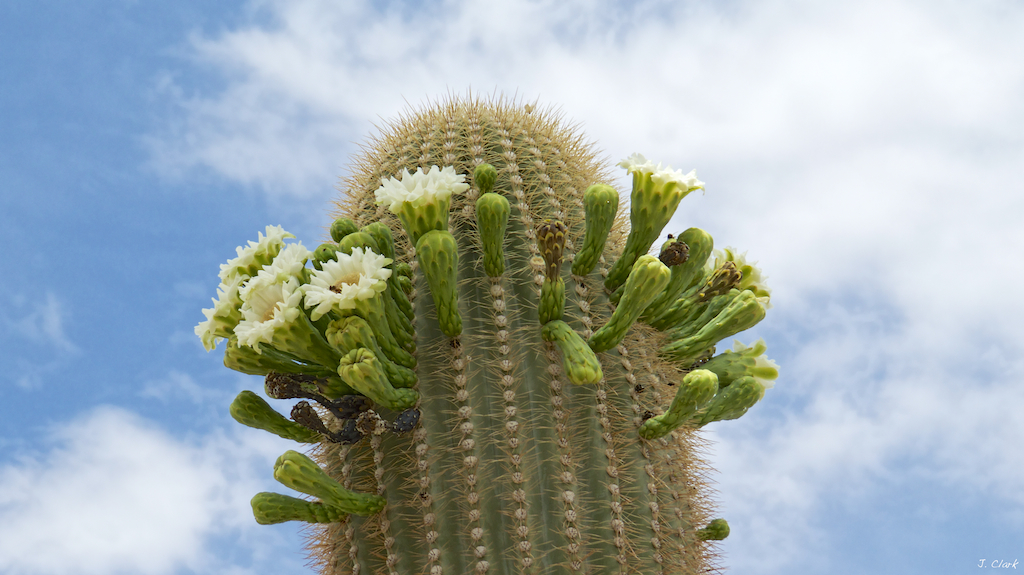 saguaro top in bloom 1728
