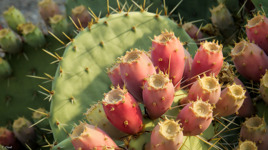 prickly pear cactus fruit 1740